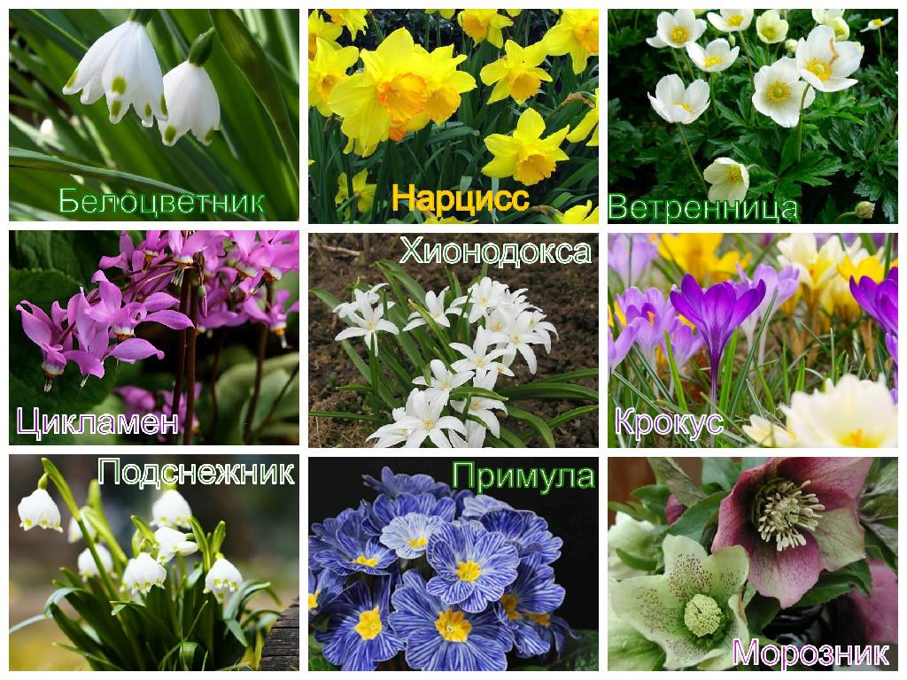 Весенние ранние садовые цветы